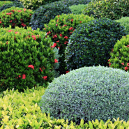 Beautiful rose shrubs in the piedmont area of NC and VA. DIY shrub care is hard, but The Green Team is here to help!